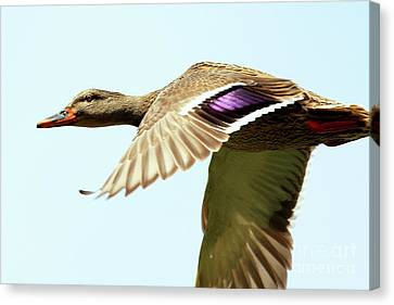 Bif Canvas Print - Mallard In Flight . 40d5450 by Wingsdomain Art and Photography