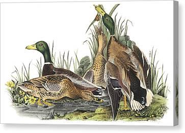 Mallard Canvas Print by John James Audubon