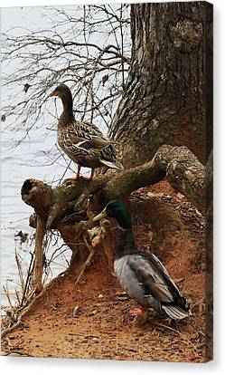 Canvas Print featuring the photograph Mallard by Kim Henderson