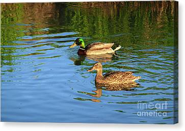Mallard Pair Canvas Print by Robert Bales