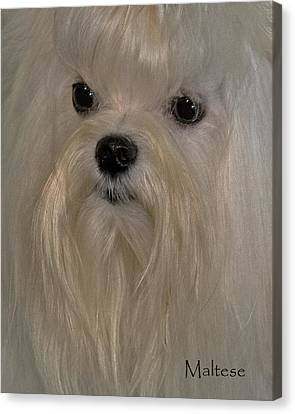 Maltese Canvas Print