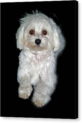 Maltese Terrier Puppy Canvas Print by Kenneth William Caleno