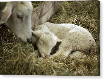 Mama's Lil Lamb Canvas Print by Linda Mishler