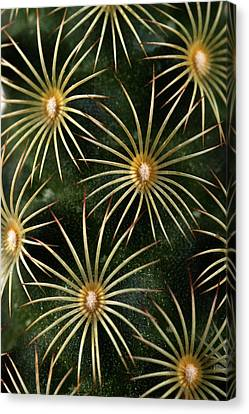 Canvas Print featuring the photograph mammillaria elongata Cactus  by Catherine Lau