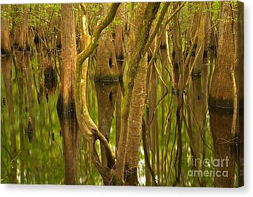 Manatee Springs Cypress Reflections Canvas Print