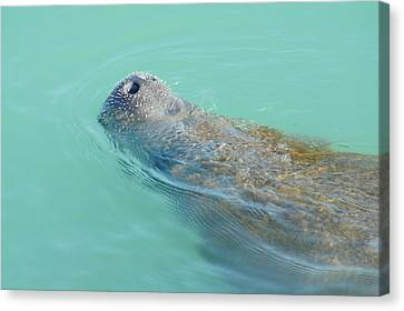 Canvas Print featuring the photograph Manatee Surfaces For Air by Lynda Dawson-Youngclaus