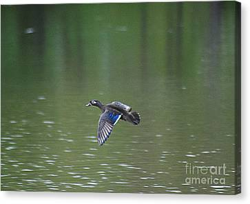 Mandarin Duck 20130507_50 Canvas Print