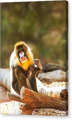 Mandrill Canvas Print - Mandrill Baboon Looking At Camera Scratching by Susan Schmitz