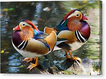 Mandarin Double Shot Canvas Print