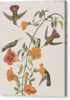 Mango Humming Bird Canvas Print by John James Audubon