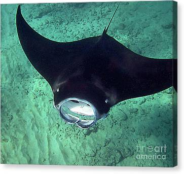 Manta Mouth Canvas Print