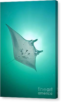 Manta Ray With White Belly, Komodo Canvas Print by Mathieu Meur