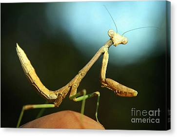 Canvas Print featuring the photograph Mantid by DiDi Higginbotham