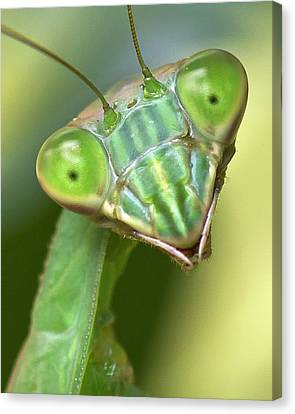 Mantis Hello Canvas Print by Alan Raasch
