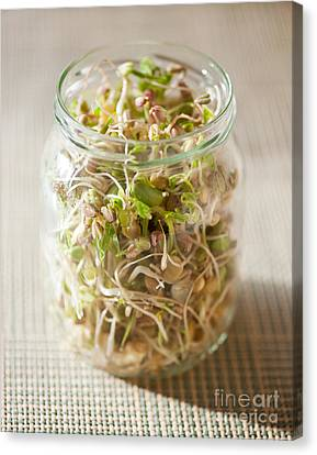 Many Cereal Sprouts Growing In Glass Jar  Canvas Print by Arletta Cwalina
