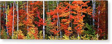 Maple And Birch Trees In A Forest Canvas Print by Panoramic Images