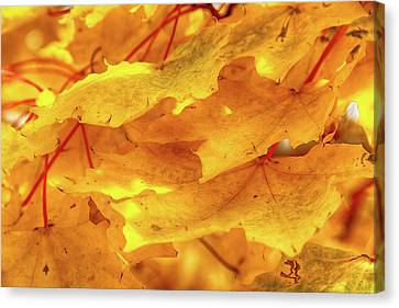 Canvas Print featuring the photograph Maple Blaze by Marie Leslie