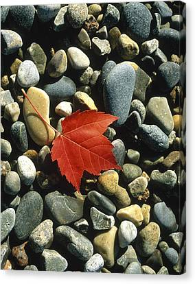 Maple Leaf On Pebbles Canvas Print by Panoramic Images