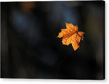 Maple Leaf Setauket New York Canvas Print