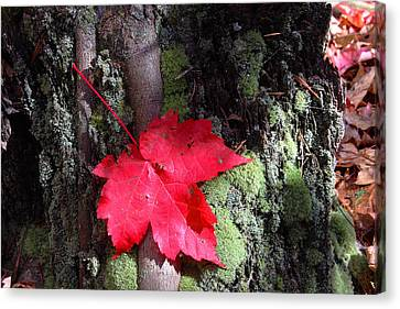 Maple Leaf Still Life Canvas Print