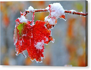 Maple Leaf With Snow Canvas Print by Alan Lenk
