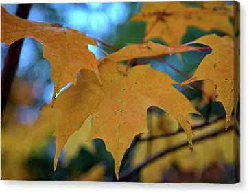 Maple Leaves In Autumn Canvas Print by Rick Berk