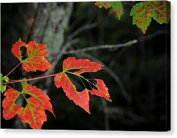 Maple Leaves Canvas Print by Steven Scott