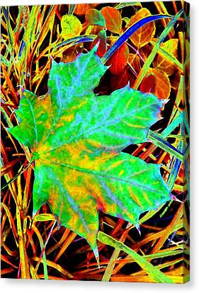 Maple Mania 21 Canvas Print by Will Borden