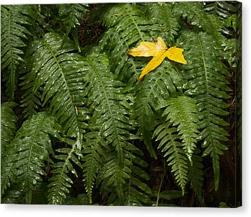 Maple On Fern Canvas Print by Jean Noren