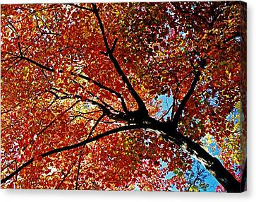 Maple Tree In Autumn Glow Canvas Print by Juergen Roth