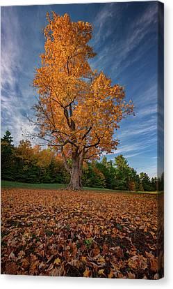 Maple Tree In Vaughan Woods Canvas Print by Rick Berk