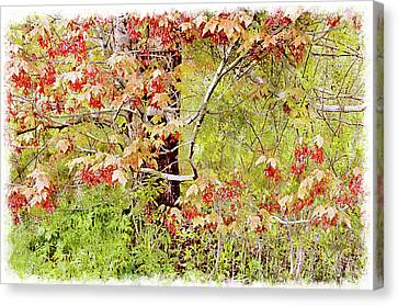 Maple Tree W C  Canvas Print by Peter J Sucy