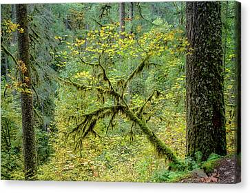Maple With Douglas Firs Canvas Print