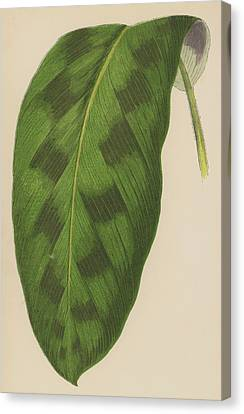 Maranta Pardina Canvas Print by English School