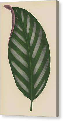 Maranta Porteana Canvas Print by English School