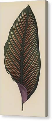 Maranta Regalis Canvas Print