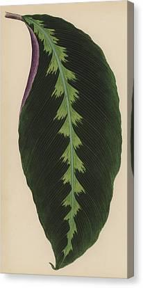 Maranta Warsewiczii Canvas Print