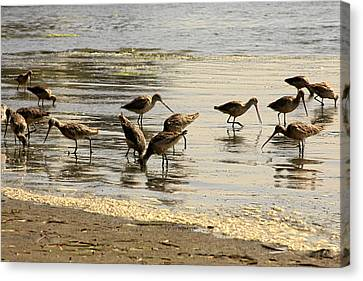 Marbled Godwit Birds At Sunset Canvas Print by Christine Till