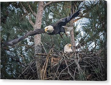 Eagle In Flight Canvas Print - March 25 2016 Gilbertsville Ky Eagle Flight by Jim Pearson