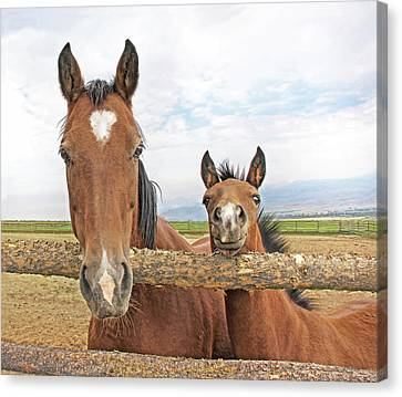 Mare And Filly Horses Canvas Print by Jennie Marie Schell