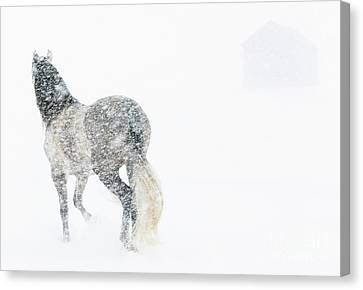 Mare In A Blizzard II Canvas Print by Carol Walker