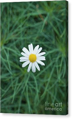 Marguerite Chelsea Girl Flower Canvas Print by Tim Gainey