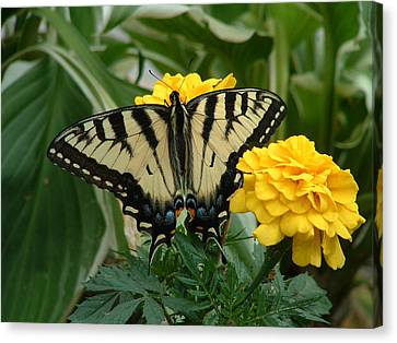Marigold And Butterfly Canvas Print by Emerald GreenForest