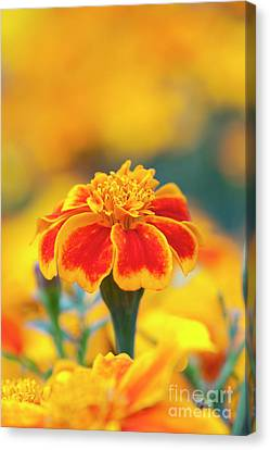 Asteraceae Canvas Print - Marigold Zenith by Tim Gainey