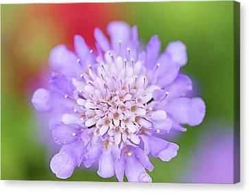 Butterfly Blue Pincushion Flower Canvas Print - Mariposa Violet In The Garden by Lynn Bauer