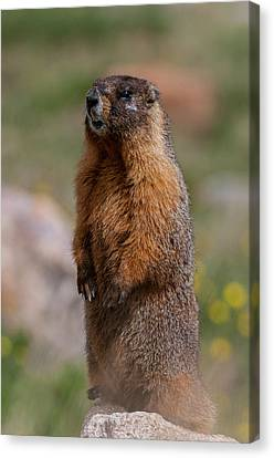 Canvas Print featuring the photograph Marmot by Gary Lengyel