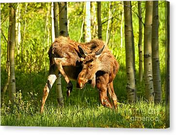 Moose Stretched Canvas Print - Maroon Bells Moose by Adam Jewell