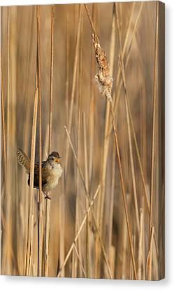Marsh Wren Canvas Print by Bill Wakeley