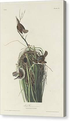 Marsh Wren Canvas Print by Rob Dreyer