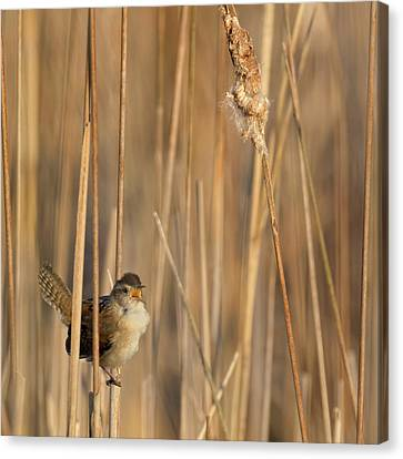 Marsh Wren Square Canvas Print by Bill Wakeley